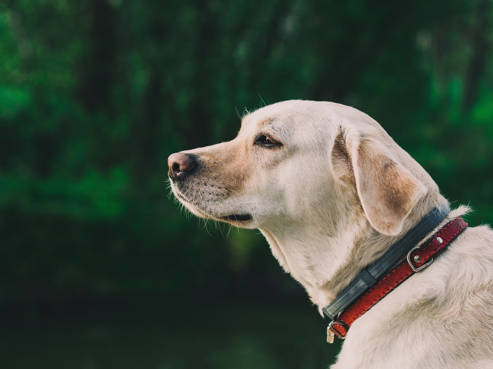 Some pets, especially purebreds, are sought out by scammers to be illegally sold for a profit. It is up to you to verify proof of ownership before giving up your found pet. Photo credit: Pexels